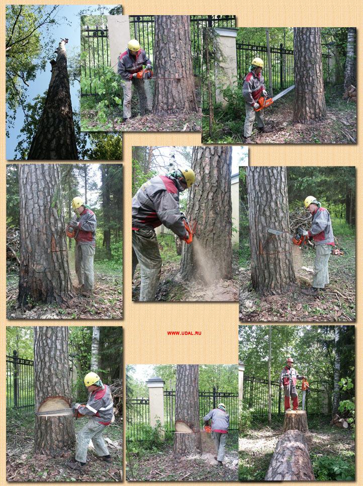 Точная, прицельная валка дерева